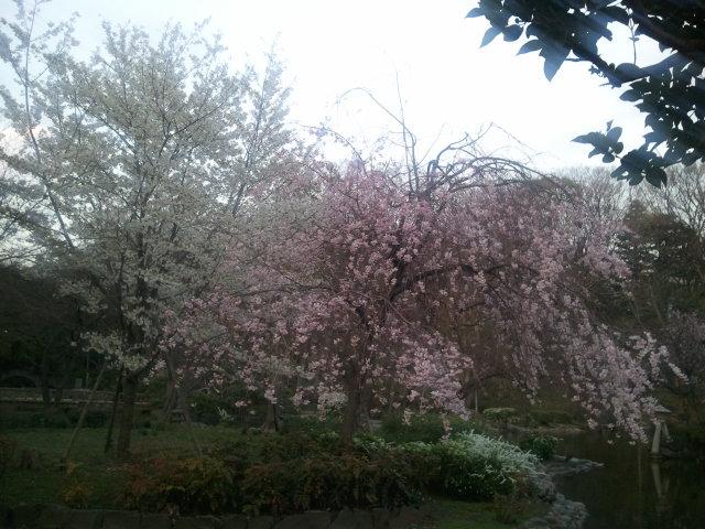 有栖川の桜